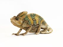 The chameleon. Stock Photo