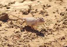 Chameleon. A chemeleon in the sand of the Sossusvlei desert in Namibia, Africa Royalty Free Stock Photos
