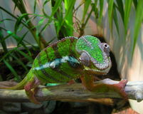 Chameleon. Colofrul Reptile with Shifty Eyes Stock Image