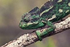 Chameleon. On the hint. Wonderful skin colors Royalty Free Stock Image