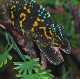 Chameleon Stock Photos
