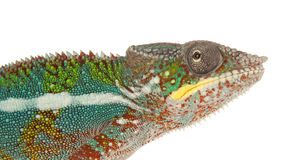 Chameleon. Side profile of a colourful Chameleon Royalty Free Stock Photos