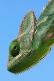 Chameleon Immagini Stock