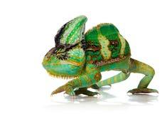 Chameleon Imagens de Stock