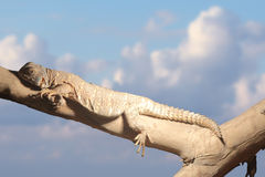 Chameleon. Climb the tree over cloudy sky Stock Photography
