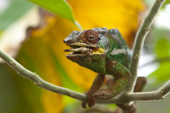 Chameleon. From Madagascar, crawling on the branch, with yellow leaf in the background. Eating a grasshopper visible in the open mouth Stock Photo