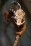 Chameleon. A frontal shot of a chameleon as it climbs along a branch Stock Images