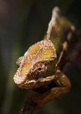 Chameleon. A closeup of a chameleon's head Royalty Free Stock Images