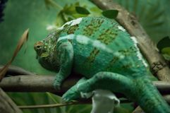 Chameleon. Resting on a branch Royalty Free Stock Images