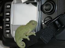 Chameleon. Baby chameleon on camera strap Royalty Free Stock Image