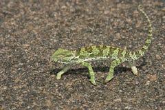 Chameleon. Crossing the road Stock Photo