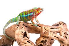 chameleon Imagem de Stock