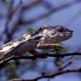 chameleon Foto de Stock Royalty Free