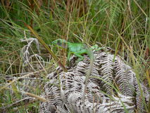 chameleon Royalty-vrije Stock Afbeeldingen