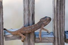 chameleon Stock Afbeeldingen