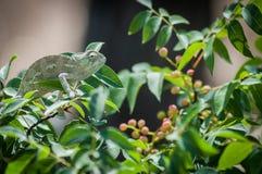 chameleon Foto de Stock