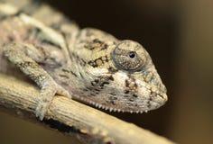 Free Chameleon Stock Image - 4719901