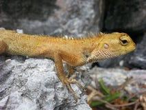 chameleon Stock Foto's