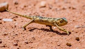 chameleon Fotografie Stock Libere da Diritti