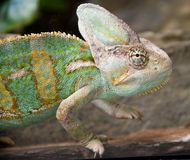 Chameleon 6 royalty free stock image