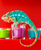 chameleon Fotografia Stock Libera da Diritti