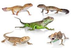 chameleon Fotografia Stock