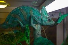 chameleon Imagem de Stock Royalty Free