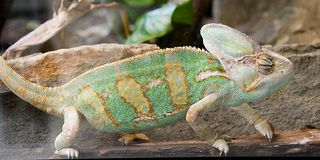 Chameleon 7 Royalty Free Stock Photo
