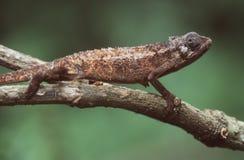 Chameleon fotografia de stock