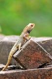 Chameleon Royalty Free Stock Photos