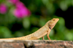 Chameleon. Looking great in sunny day Stock Photography