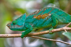 Chameleon. Wild chameleon in nature, Madagascar Stock Photography