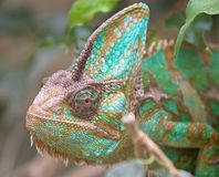 Chameleon 8 Royalty Free Stock Photos
