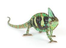 Chameleon Fotos de Stock Royalty Free
