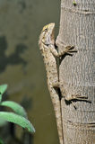 Chameleon. Climbing the tree in sunny day Royalty Free Stock Photo