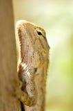 Chameleon Stock Image