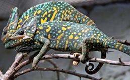 Chameleon 9 Royalty Free Stock Photos