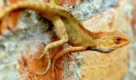 Chameleon. Resting on the red brick Royalty Free Stock Images