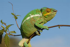 Chameleon. Species that is endemic to the Madagascar royalty free stock photo