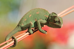 Free Chameleon Royalty Free Stock Photography - 9680957