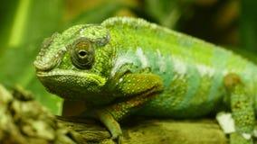 chameleon Royalty-vrije Stock Afbeelding