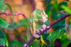 Chameleon royalty free stock photos