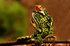 Chameleon in action Royalty Free Stock Photo