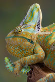 Chameleon affamato Fotografia Stock