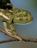 chameleon Alettone-con il collo, Masai Mara, Kenia immagini stock