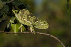 chameleon Alettone-con il collo, Masai Mara, Kenia Fotografia Stock