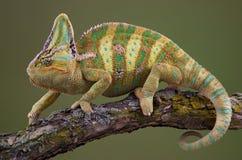 Chameleon ambulante Fotografie Stock Libere da Diritti