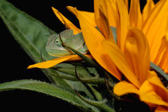 Chameleon And Sunflower Stock Image