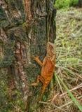 Chameleon. Animal nature tree galliwasp royalty free stock photography