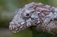 Chameleon Anole. The Chameleon Anole,Chamaeleolis barbatus, is one of the biggest members of the Anole family. These cryptic lizards only live on a small part of Stock Photography
